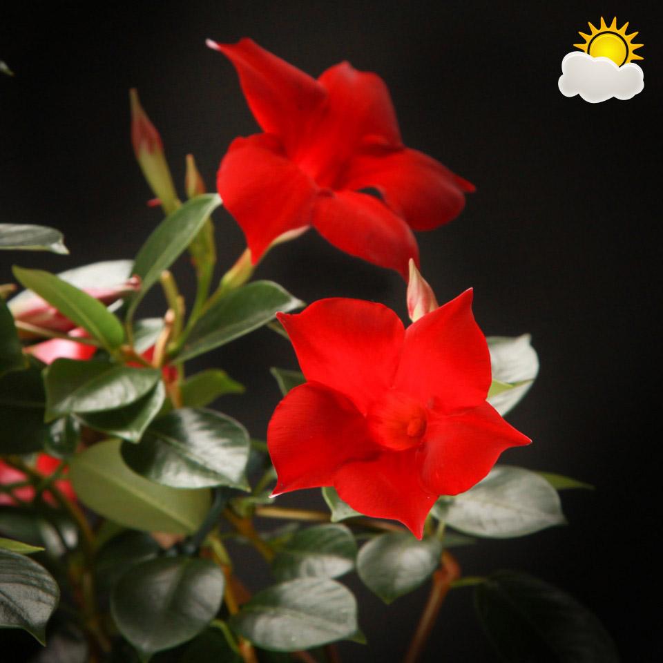 Sundaville rood