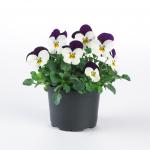 sorbet white purple