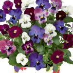 Viola-cornuta-EVO-Mini-F1-MixMasters-London_34348_5